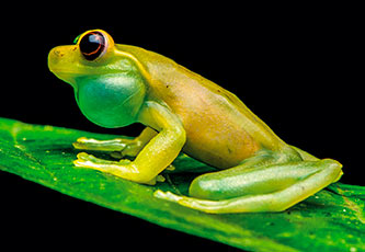 Mashpi's endemic frog species