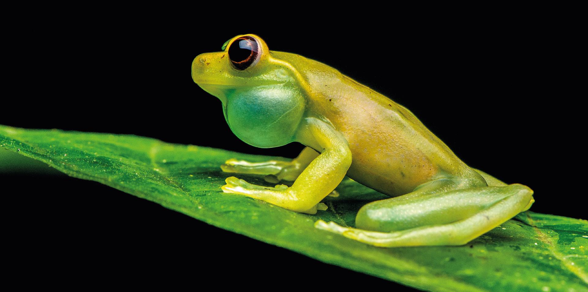 Mashpi's Glass Frog: One of Ecuador's endemic species