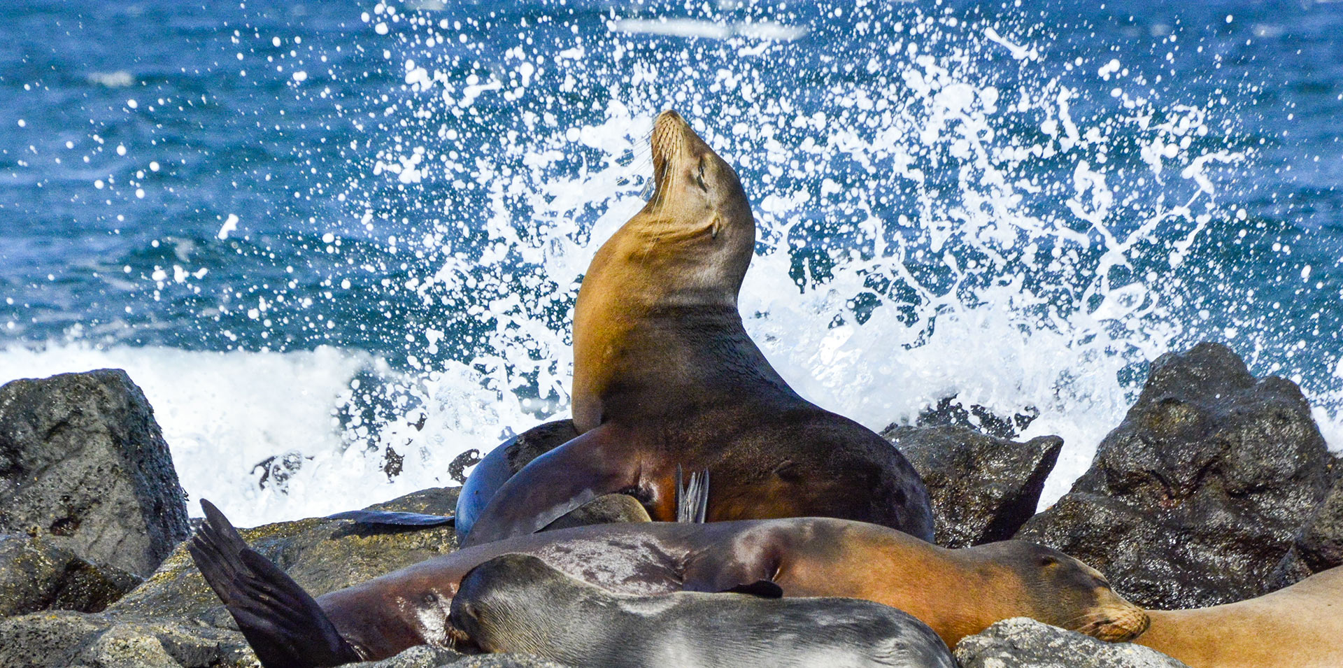 Sea lions resting on rocks in the Galapagos Islands