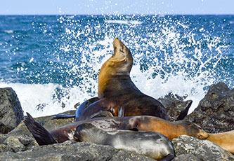 Lobos marinos descansando sobre las piedras en las Islas Galápagos
