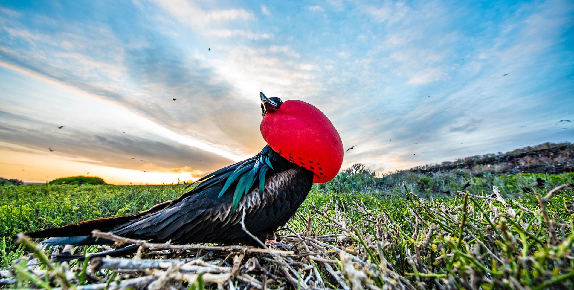 frigatebird-genovesa-island-galapagos