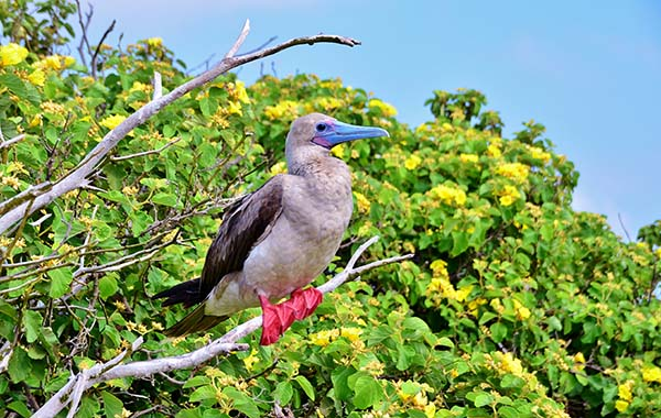 Red-footed booby standing on a branch.