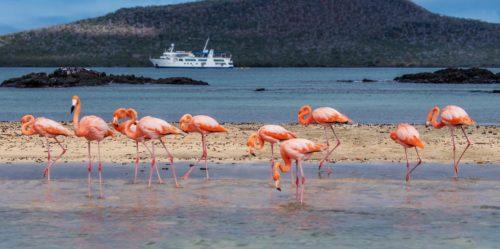 Flamencos americanos tomando el sol en Galápagos
