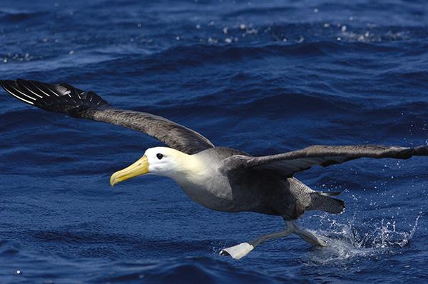 Galapagos waved albatross flying at Española Island
