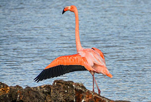 American Flamingo in Dragon Hill