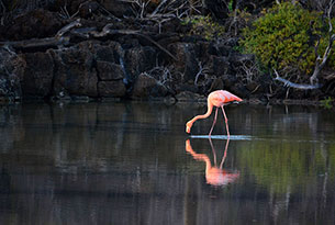 Pink Flamingo at Dragon Hill, Galapagos