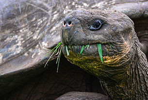 Giant tortoise in Santa Cruz Island, Galapagos