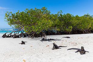 Iguanas marinas en Tortuga Bay