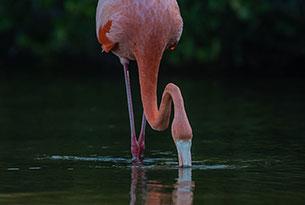American flamingo in Las Bachas, Galapagos