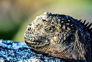 Land Iguana on Mosquera Islet in Galapagos