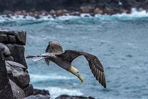 Albatross at Punta Suarez in the Galapagos Islands