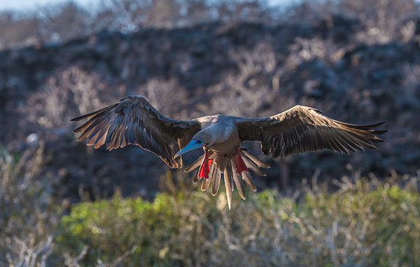 Red Footed Booby in Genovesa Island
