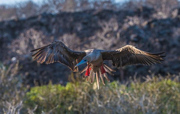 Piquero de patas rojas en la Isla Genovesa