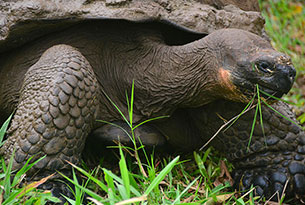 Giant Tortoise in the Highlands of Santa Cruz Island, Galapagos