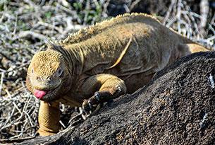Santa Fe's Land Iguana