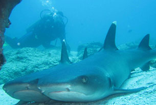 Scuba Diving in the Galapagos with White-tip Reef Sharksa