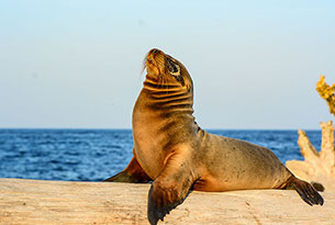 Sea Lion at Mosquera Islet