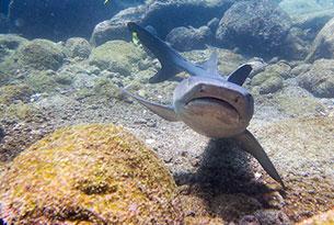 Tiburones tintoreras en Galápagos, Ecuador