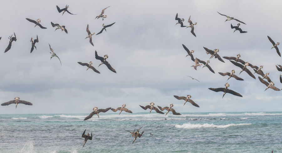 Blue-footed boobies diving into water to feed