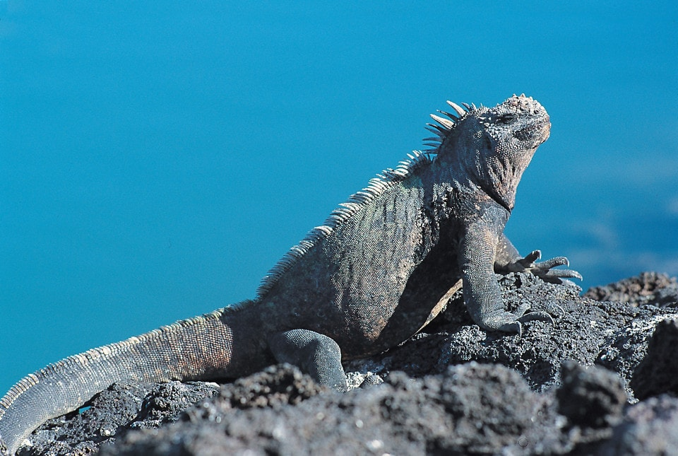 tiempo de duración paquete a galápagos: iguana marina