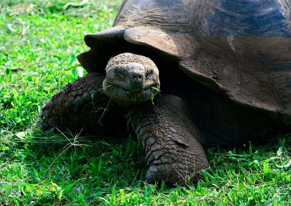 Cuánto tiempo debería pasar en Galápagos: Tortuga gigante de Galápagos