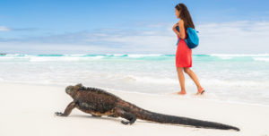 Walking along the beach in the Galapagos with a marine iguana
