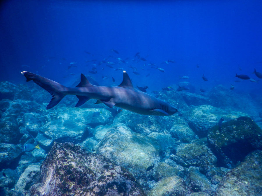 Whitetip Reef Shark in the Galapagos Islands