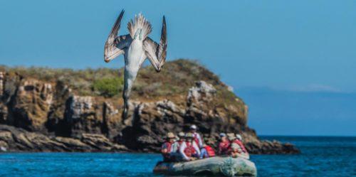 Piquero de patas azules volando en las Islas Galápagos