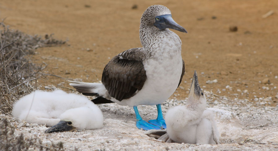 Mother blue-footed booby with her chicks in the Galapagos