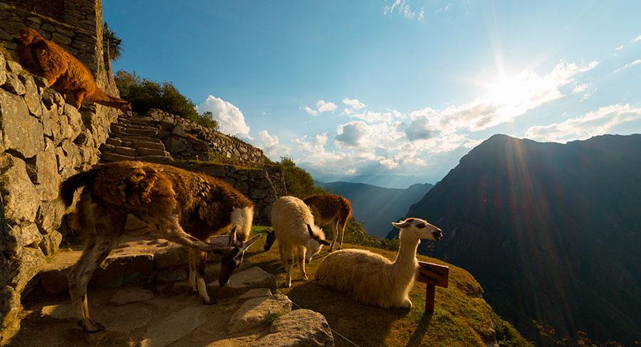 Un grupo de llamas en Machu Picchu