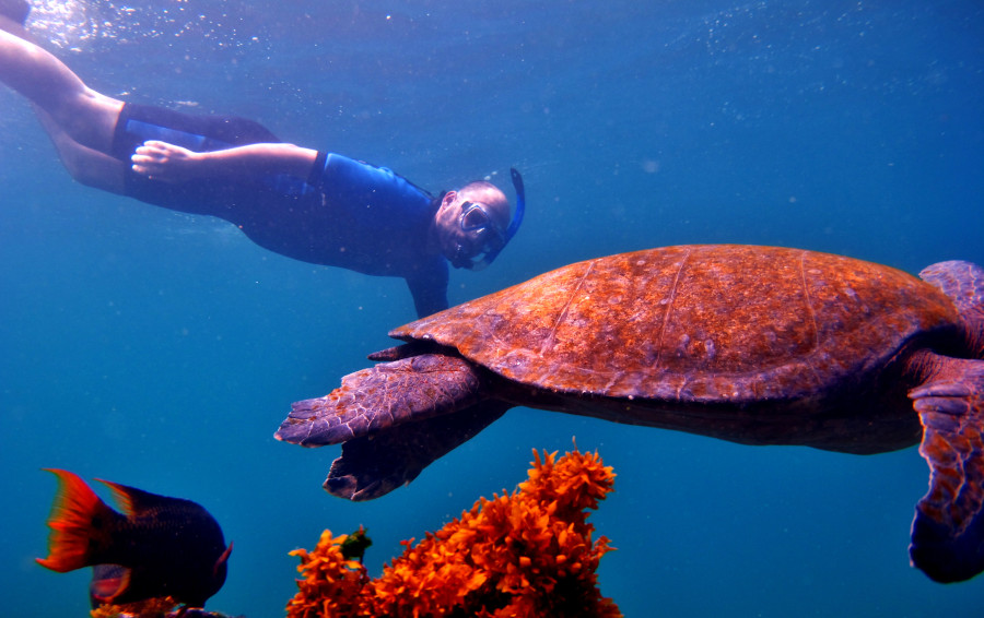 Snorkeling visitor dives in next to an unconcerned sea turtle in the Galapagos