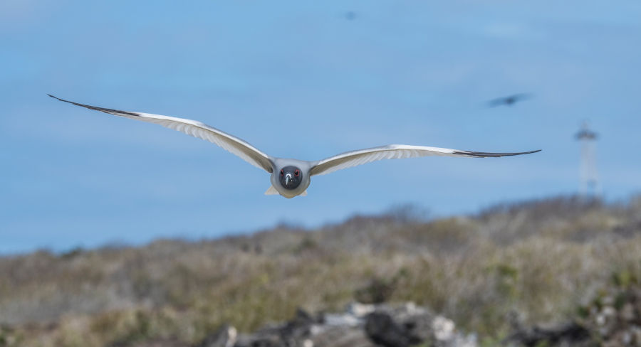 Swallow-tailled gull soars above a beachside on the Galapagos islands