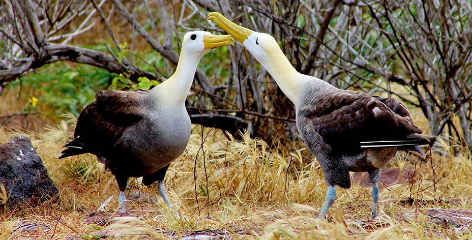 Galapagos albatross courtship
