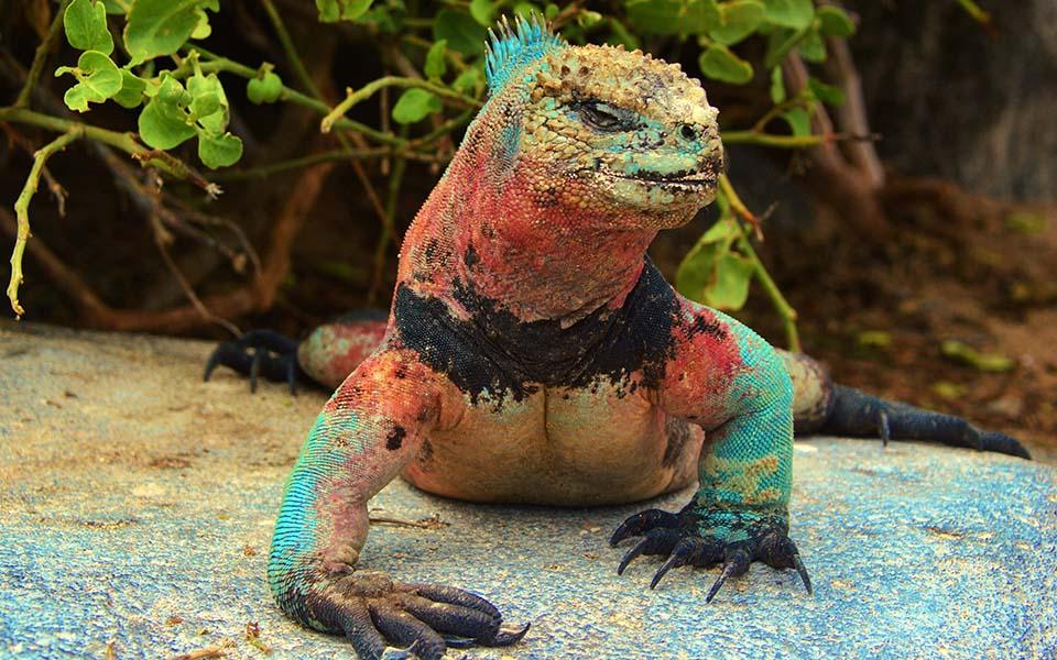 Marine iguana flaunts its seasonal colors in the Galapagos