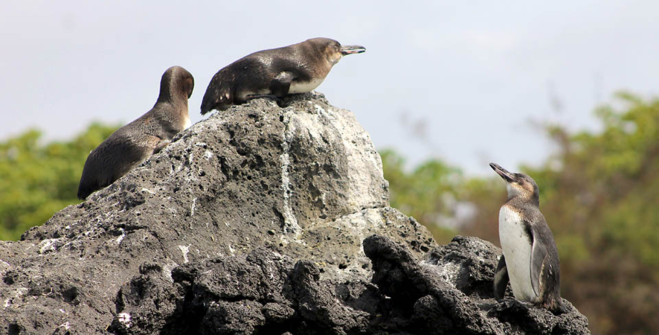Penguins in the Galapagos during their nesting season