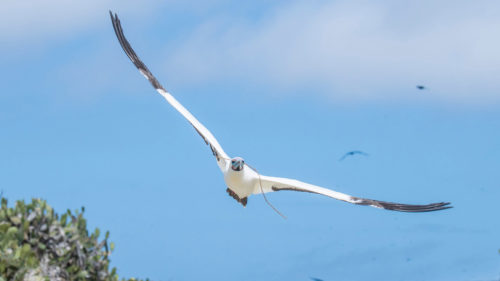 Red-footed booby soars across the sky in the Galapagos