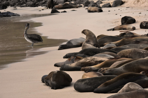 Harem of sea lions resting on the beach in Galapagos.