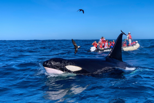 Orca found in the Galapagos Islands.