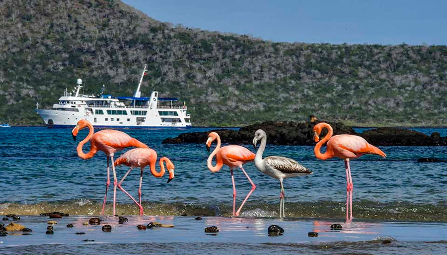 Flamingos with Yacht Isabela in the background, Galapagos