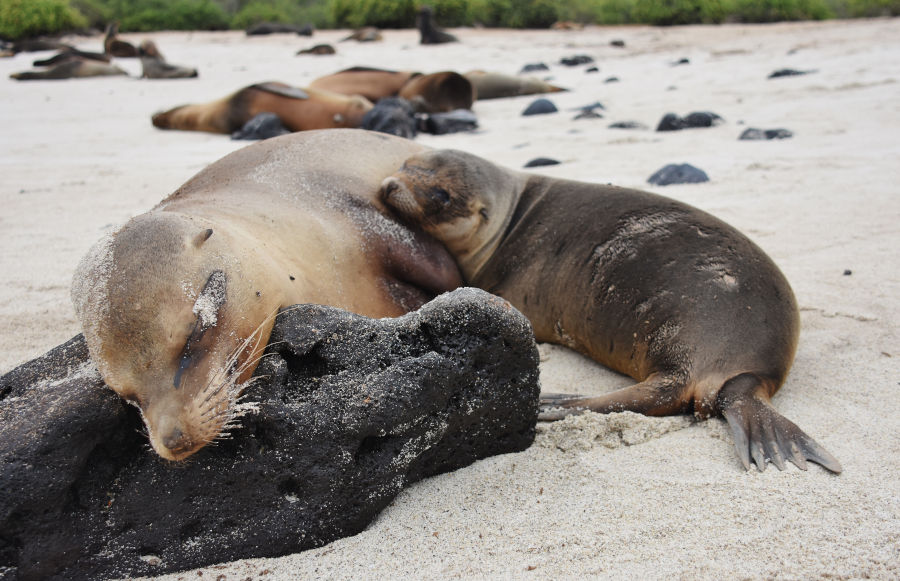 Sea lion pup lounges next to mother