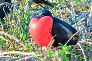 Frigatebird in the Galapagos Islands