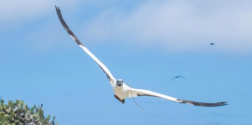 Red-footed booby flying over the Galapagos Islands