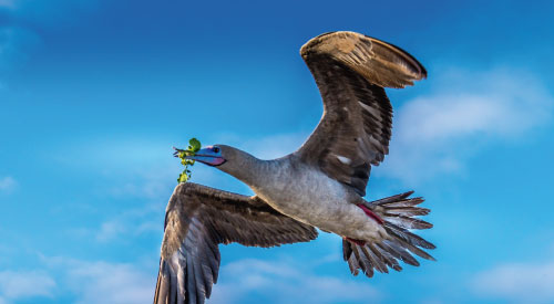 Red-footed booby flying on a clear day in Galapagos