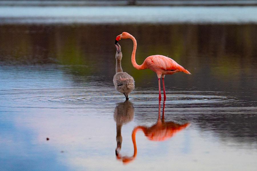 American Flamingo at Santa Cruz Island in the Galapagos
