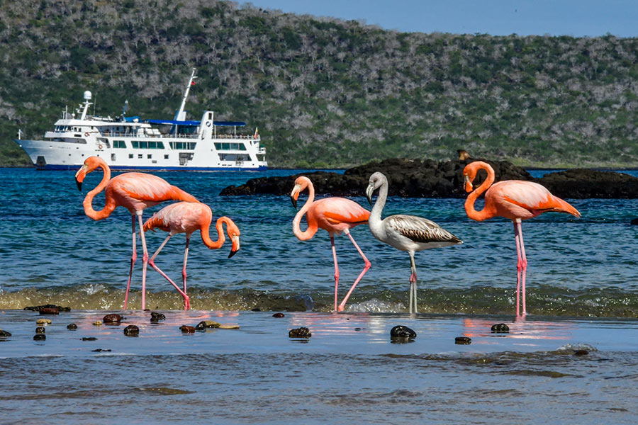 American Flamingos in the Galapagos Islands posing in front of Yacht Isabela II