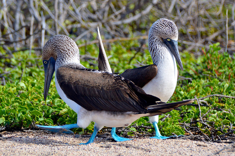 Blue-footed boobies performing their courtship dance in the Galapagos Islands