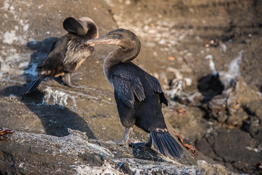 Flightless Cormorant in Fernandina Island, Galapagos