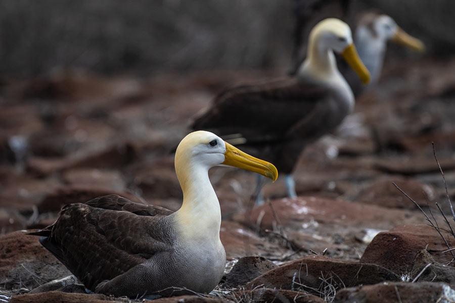 Galapagos Albatross in Española Island, Galapagos