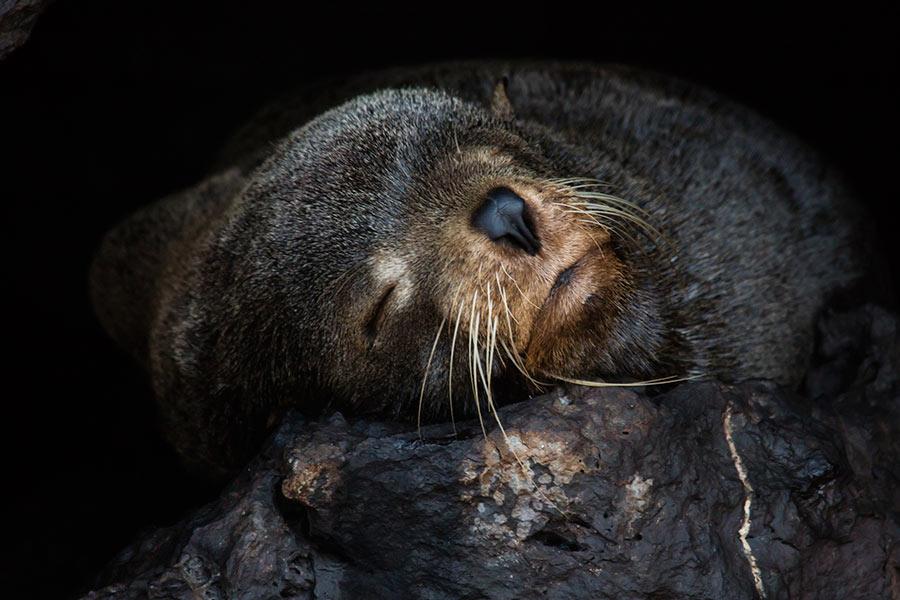 Sleepy Galapagos Fur Seal Pup