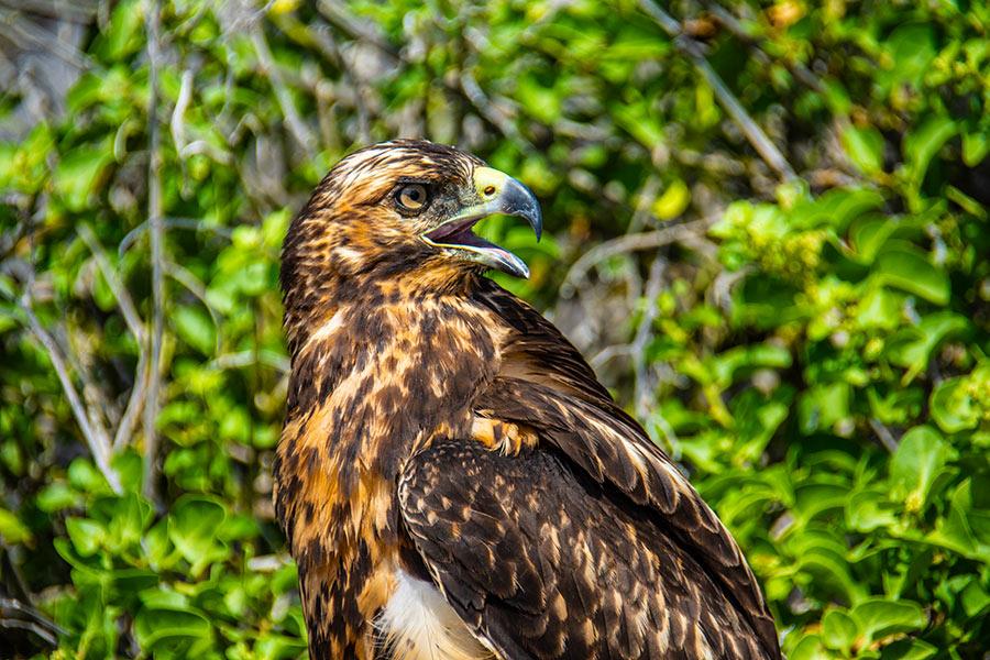 Galapagos Hawk: The archipelago's top predator